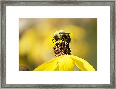King Of The Coneflower Framed Print by Penny Meyers