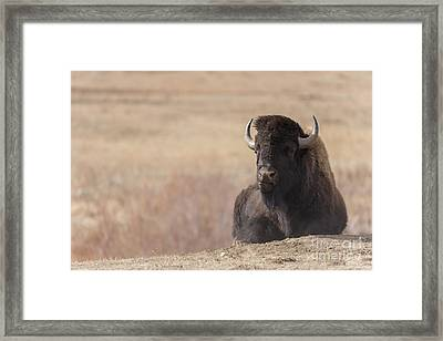 King Of The Hill At Custer State Park South Dakota Framed Print