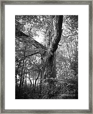 King Of The Timber Bw Framed Print