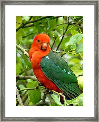 Framed Print featuring the photograph King Parrot Male by Margaret Stockdale