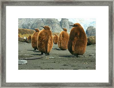 King Penguin Chicks Framed Print by Amanda Stadther
