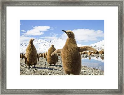 King Penguin Chicks South Georgia Island Framed Print by Yva Momatiuk and John Eastcott