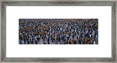 King Penguin Colony Salisbury Plain Framed Print