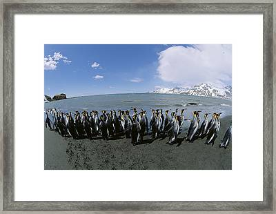 King Penguin Colony South Georgia Island Framed Print