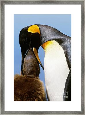 King Penguin Feeding Chick Framed Print