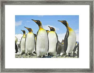 King Penguins Looking Framed Print