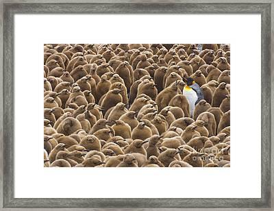 King Penguin In Creche  Framed Print