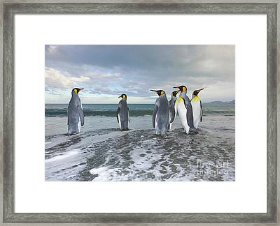 King Penguin In The Surf Framed Print