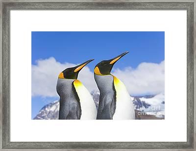 King Penguin Duo Framed Print by Yva Momatiuk John Eastcott