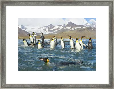 King Penguins Swimming St Andrews Bay Framed Print