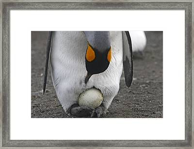 King Penguin With Egg Framed Print by M. Watson