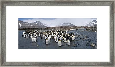 King Penguins Aptenodytes Patagonicus Framed Print by Panoramic Images