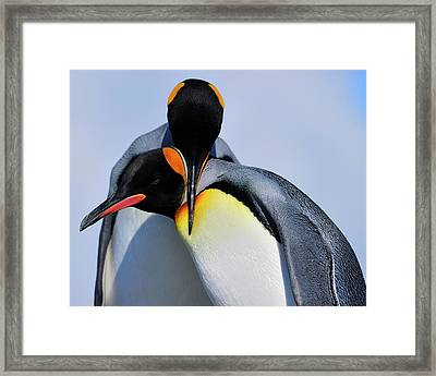 King Penguins Bonding Framed Print by Tony Beck