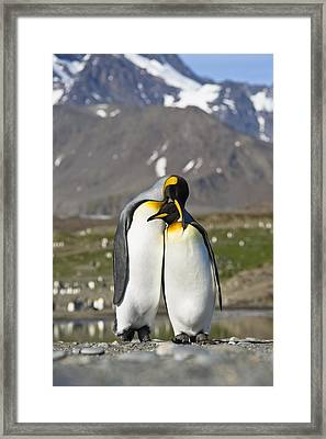 King Penguins Courting St Andrews Bay Framed Print