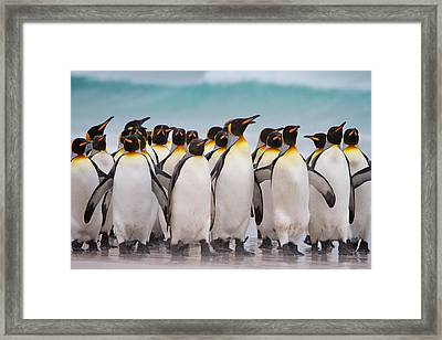 King Penguins Framed Print