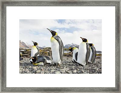 King Penguins On Prion Island Framed Print