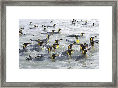 King Penguins Swimming S Georgia Island Framed Print
