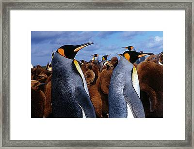 King Penguins With Brown Feathered Framed Print by Babak Tafreshi