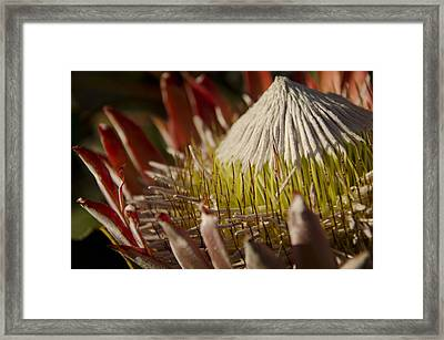 King Protea Framed Print by Aaron Bedell