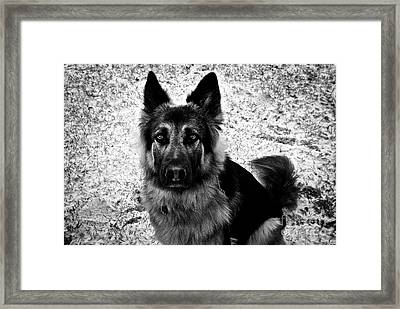 King Shepherd Dog - Monochrome  Framed Print