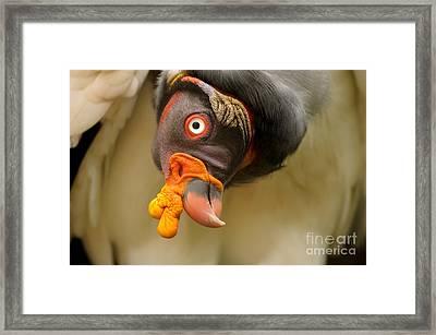 King Vulture Framed Print by Mark Bowler