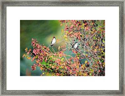 Kingbird Pair Framed Print