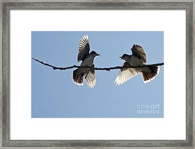 Kingbird Spat 2 Framed Print by Sharon Talson