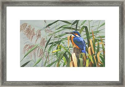 Kingfisher Framed Print by Clive Meredith