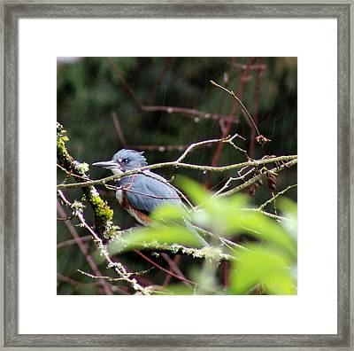 Kingfisher In The Rain Framed Print