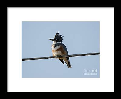 Belted Kingfisher Framed Prints