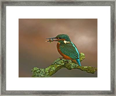 Kingfisher With Stickleback Framed Print