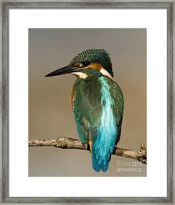 Kingfisher3 Framed Print