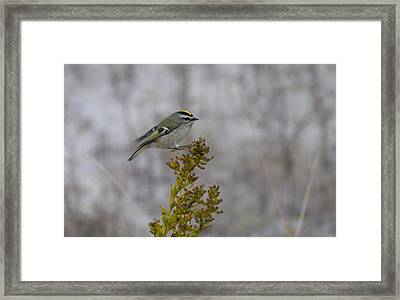 Framed Print featuring the photograph Kinglet by Greg Graham