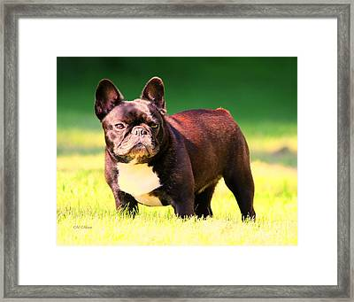 King's Frenchie - French Bulldog Framed Print