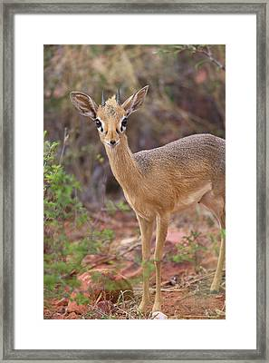 Kirk's Dik-dik Framed Print by Simon Booth