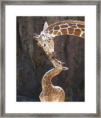 Kissing Giraffes Framed Print by Jf Halbrooks