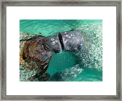 Kissing Manatees Near Harbour Island Framed Print