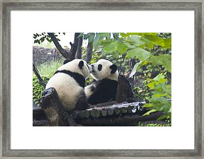 Framed Print featuring the photograph Kissing Pandas by Jialin Nie Cox ChinaStock