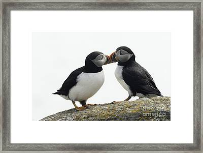 Kissing Puffins Framed Print