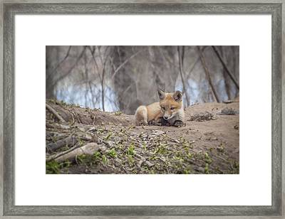 Kit Fox 2011-2   Framed Print by Thomas Young