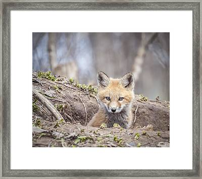 Kit Fox 2011-3 Framed Print by Thomas Young