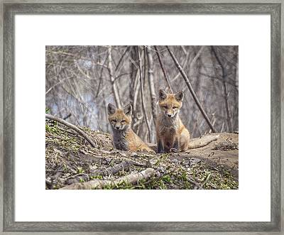 Kit Foxes 2011-1 Framed Print by Thomas Young