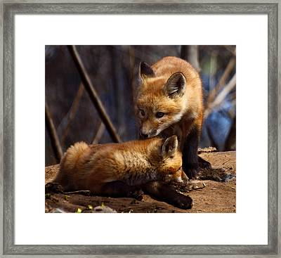 Kit Foxes Framed Print by Thomas Young