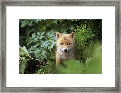 Kit Red Fox Peering Through Bushes Framed Print by Doug Lindstrand