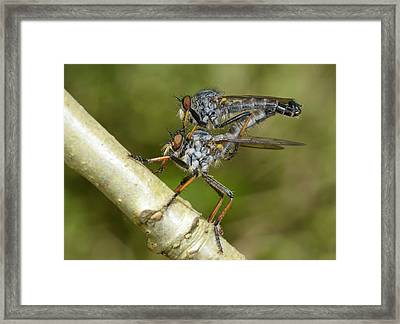 Kite-tailed Robberflies Mating Framed Print by Nigel Downer