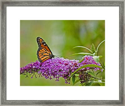 Kittatiny Monarch Framed Print