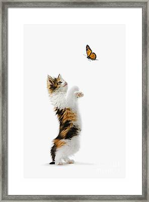 Kitten And Monarch Butterfly Framed Print