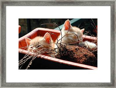 Kitten Flowers Framed Print by Dorothy Berry-Lound