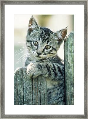 Kitten On Fence Framed Print