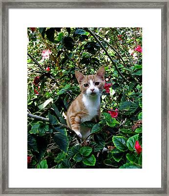 Kitten Framed Print by Pamela Walton